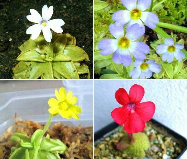 食虫植物  可憐な花に見とれる。ムシトリスミレ(Pinguicula)