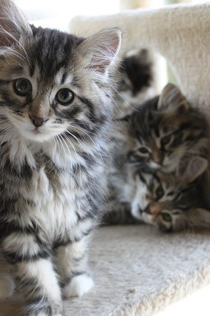Siberian kittens. Beautiful cats! Hypoallergenic too. - I want a siberian kitten! They look and act a lot like my kitty Portia! I believe she may be a SIberian mix.