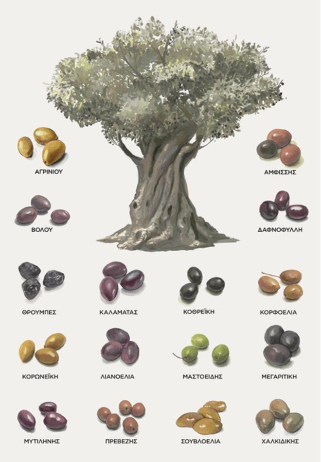 Ελιά, το δέντρο της ζωής