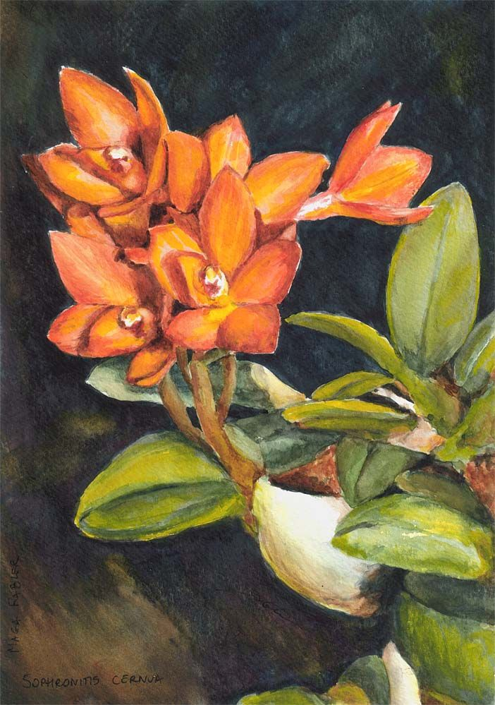 Sophronitis cernua, orchid by Maga Fabler; watercolor