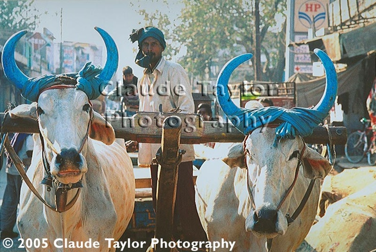 Goats with Blue Horns