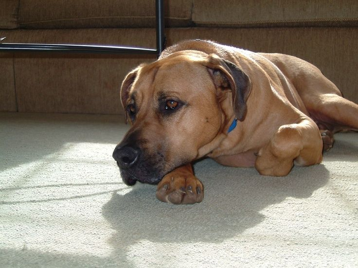 Black Mouth Cur Info, Temperament, Training, Puppies, Facts, Pictures