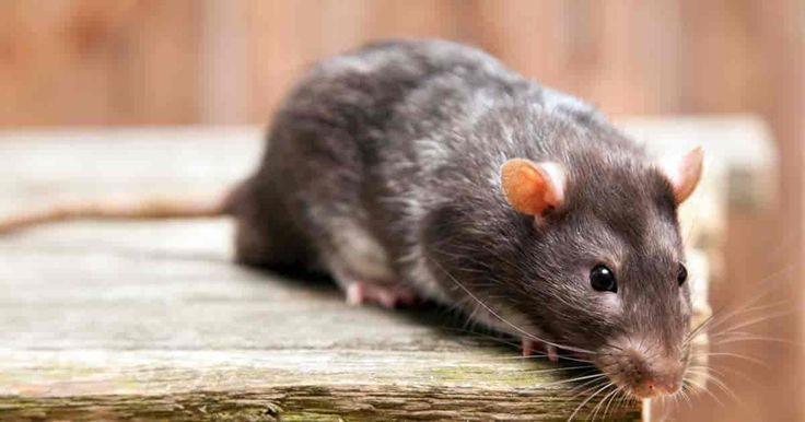 Who would have thought to use peppermint oil for mice control? If you have a mic