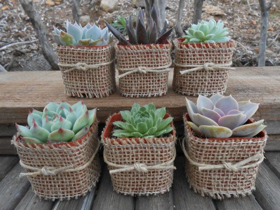 2 Succulent Favor Samples, Wrapped In Stitched Edge Burlap, Rustic Favor, Lace, Button Or Twine, Wedding Favor, Barn Wedding