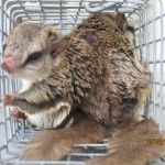 We are the Orlando wildlife removal professionals who will provide you with a honest, efficient, effective experience. We are also experts in Squirrels Removal control in Apopka. Critter & Pest Defense can help you safely and effectively get rid of your squirrel problem. For more information: http://www.critterandpestdefense.com/squirrel-removal/