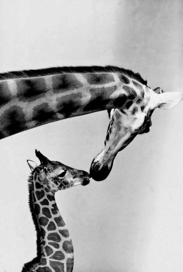 Girafe et son enfant