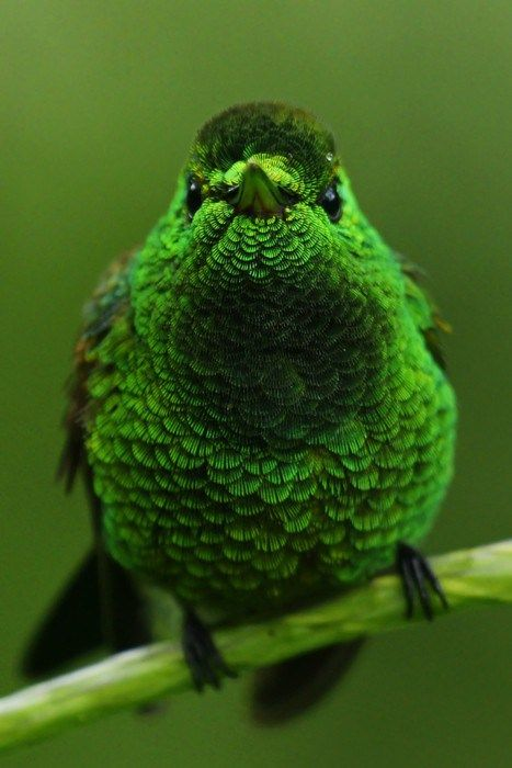 A stunning capture of the Copper-rumped Hummingbird - Image © Dave Irving ( flickr )