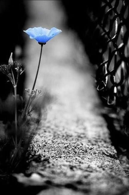 Blue flower (color splash)