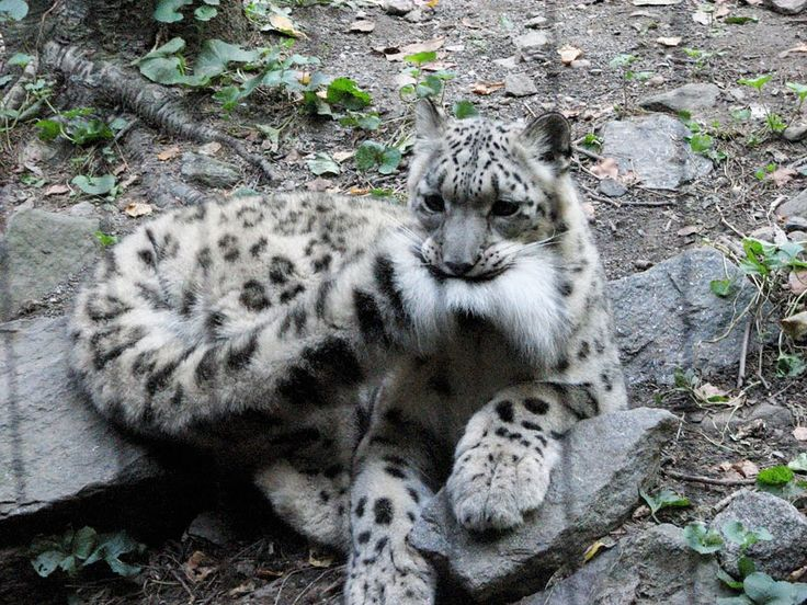 snow-leopards-biting-tail-funny-cats-2-573db41450e73__880
