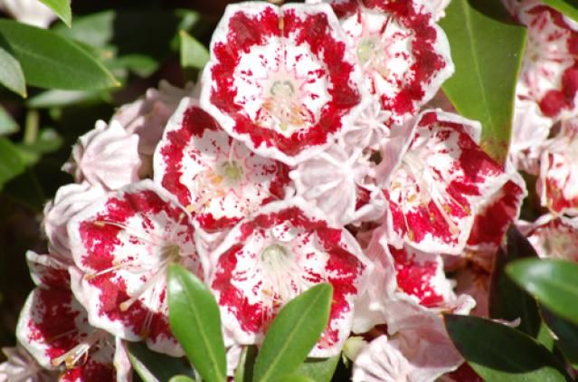 """ACID-LOVING PLANTS:  Pictures of Flowering Shrubs: Flowering Shrubs: Minuet Laurel. Picture of floral cluster from a """"Minuet"""" laurel shrub. Photo Credit: David Beaulieu"""