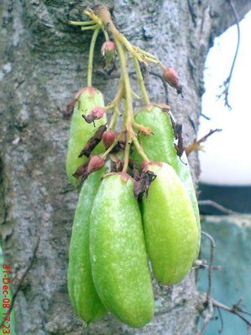 pohon buah | Jeprat Jepret Hape