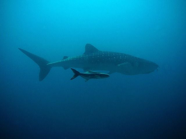 DNA samples found in water tell the number of sharks living in the ocean #juniorexplorers#dna#whalesharks#sharks#ocean#explore#share#protect