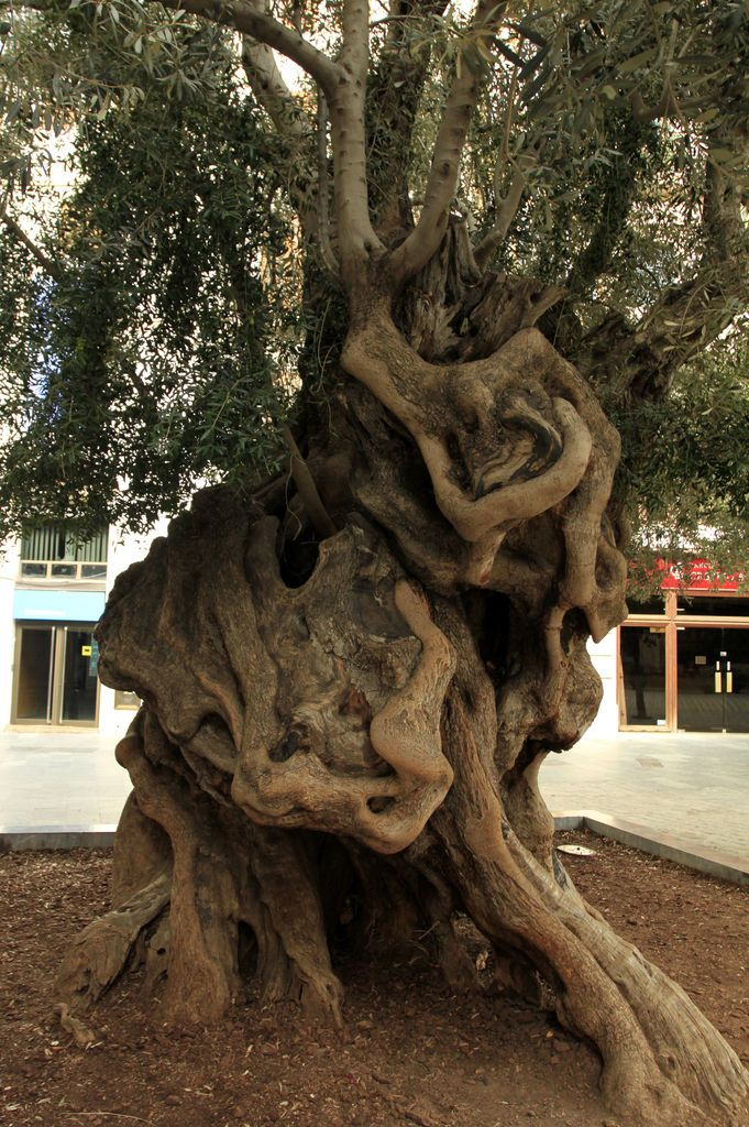 mallorca-palma-800-years-old-olive-tree-at-plaza-de-cort-photo Sat by this tree as I sipped on a Sangria