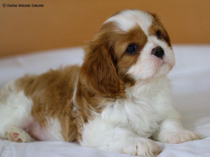Amazing Charles Spaniel Brown Adorable Dog - 7878d6645560a0c1c5454a3945190384--cute-little-puppies-puppy-love  HD_443245  .jpg