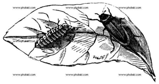http://www.photaki.com/picture-glow-worm-lampyris-noctiluca-on-leaf-vintage-engraving_1330129.htm