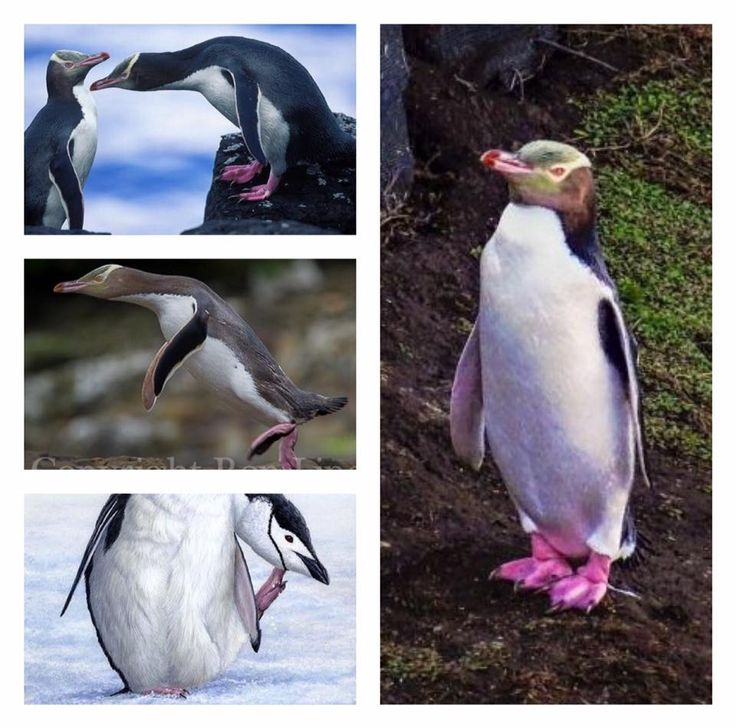 La Bolsa De Asas - Pingüino De La Yugular Con Vida Vida ipEE4