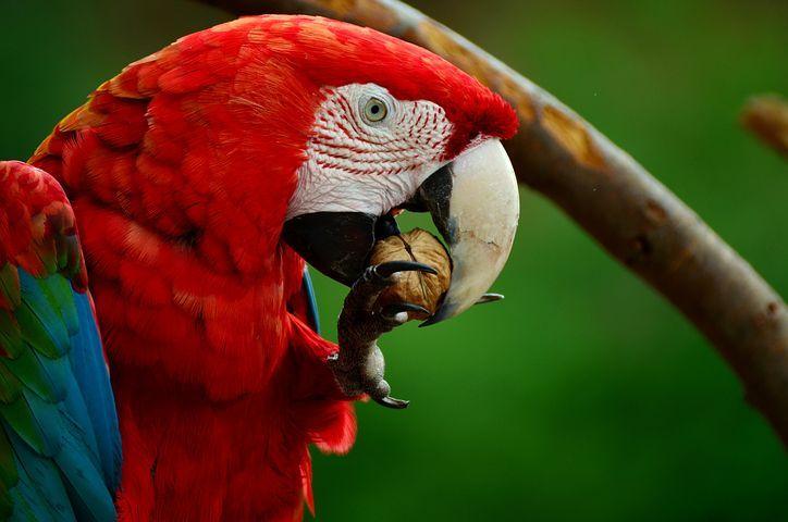 Ara, Loro, Guacamaya Roja, Aves