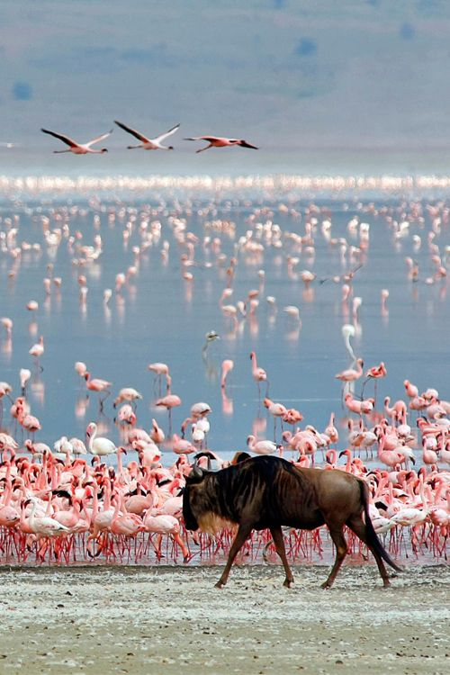Wildebeest and Flamingos