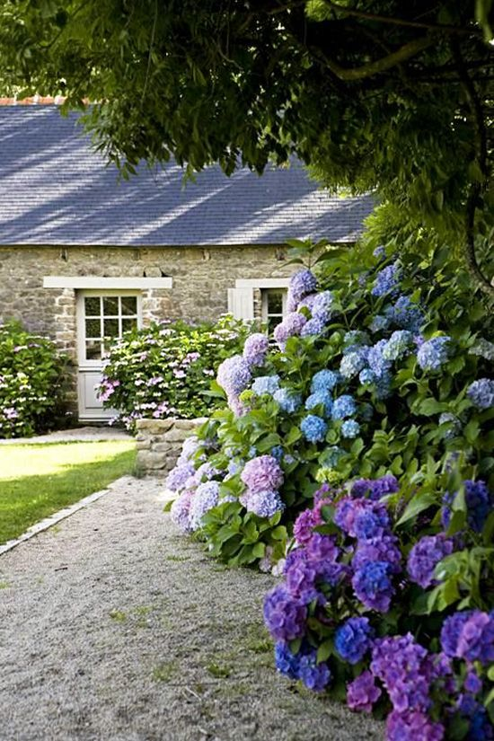 Blue and purple hydrangea hedge in a garden by a stone cottage via @thouswellblog