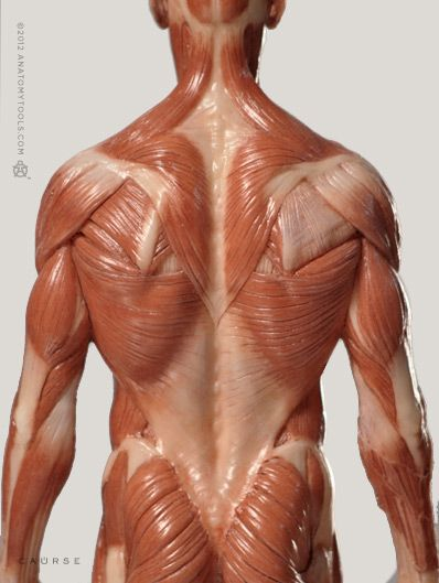 100 best images about anatomy for artists: back and chest on, Human Body