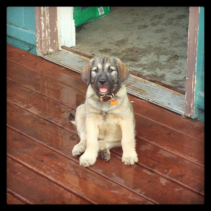 Odie, the English mastiff/Irish wolfhound puppy @ 8weeks ... Irish Mastiff Puppies