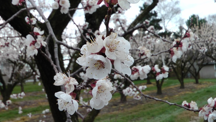 Apricot trees blossoming at Pillitteri