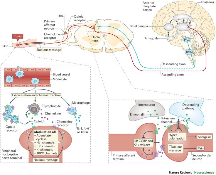 Potential sites of crosstalk between chemokine receptors and opioid receptors in nociceptive pathways.