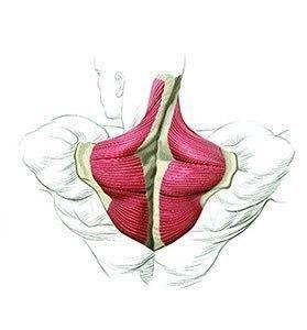 Как накачать трапециевидные мышцы? Чтобы детально разобраться в технике упражнений на трапецию, следует понять их функцию, для чего имеет смысл подробно рассмотреть устройство этих мышц. Расположенные в верхней части спины, они сводят воедино три группы мощных мышц: дельтовидные, широчайшие спинные и мышцы шеи, образуя собой плоский треугольник. Трапециевидные мышцы работают в трёх направленностях: верхняя часть трапеции поднимает лопаточную кость и весь плечевой пояс, нижняя — напротив…