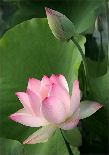 Breathing in, I calm myself, Breathing out, I smile… Lotus Flower