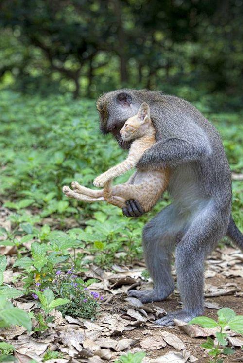 A monkey adopts a kitten,  Bali.