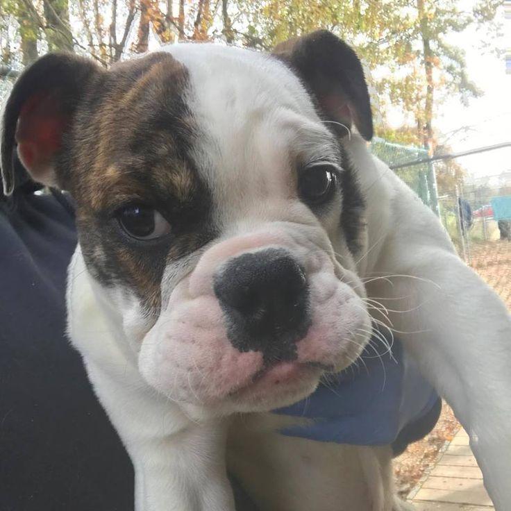 Bulldog dog for adoption in matawan nj adn719549 on