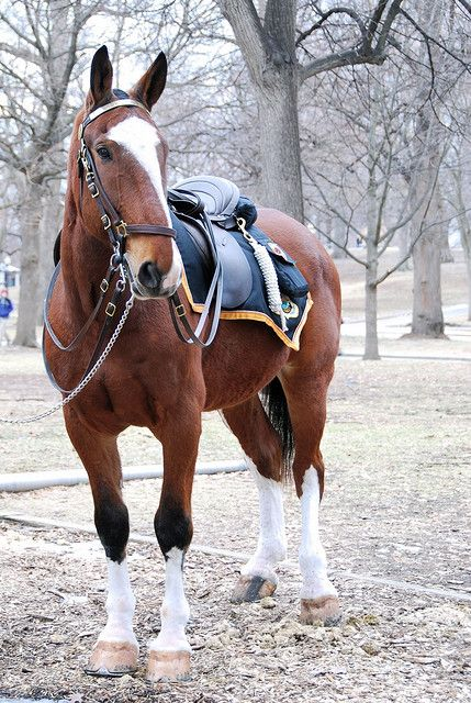 On Duty: A Boston Police Horse. What a handsome fellow! You may have noticed, most of the horses I pin are free of bridles and such, but I just LOVE this horse!