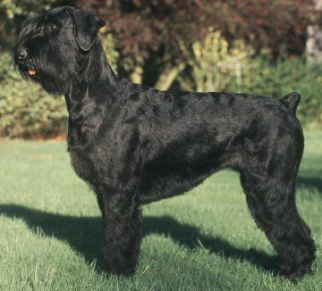 giant schnoodle All Creatures Great and Small