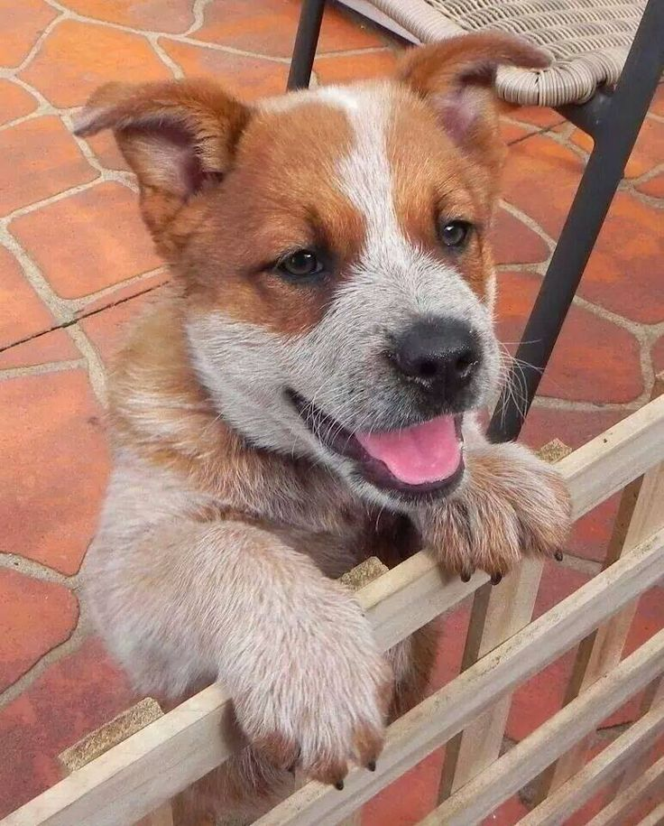 847 Best Images About Acd Blue Red Heeler Aussy