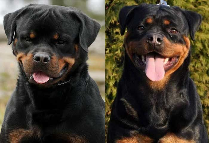 Cerberus Jasmin Rottweiler Puppies For Sale In 2020 Rottweiler Rottweiler Puppies Puppies
