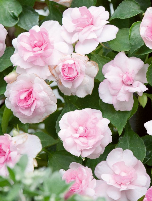 Ruusuliisa Diadem Pink