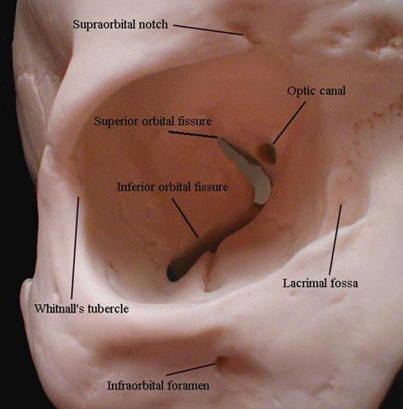 Other Terms:  Fissura orbitalis inferior, Fissure orbitaire inférieure   The inferior orbital fissure is long gap in the floor of the orbi...