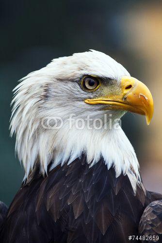 #American #white-headed #eagle