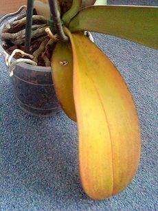 Moth orchid with yellow leaves