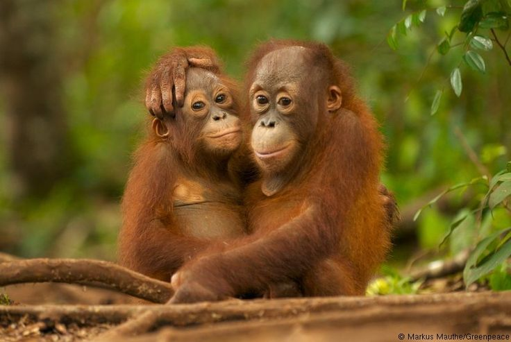 SAY NO to Palm Oil!! News, Pics, Videos :: ORANGUTANS: Men of the Forest :: Care2 Groups