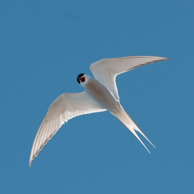Arctic tern in flight, Hall Beach, Nunavut, Can.High Arctic. This tern migrates between Greenland/Iceland & Antarctica twice a year, rnd trip of 44,300 mi - the longest migration of any known animal #High_Arctic #Arctic_Tern