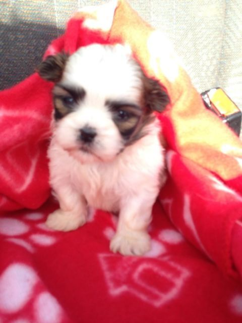 Have 3 shit zhu puppies for sale there is 1 boy and 2 girls they will be ready to go in 4 weeks moth