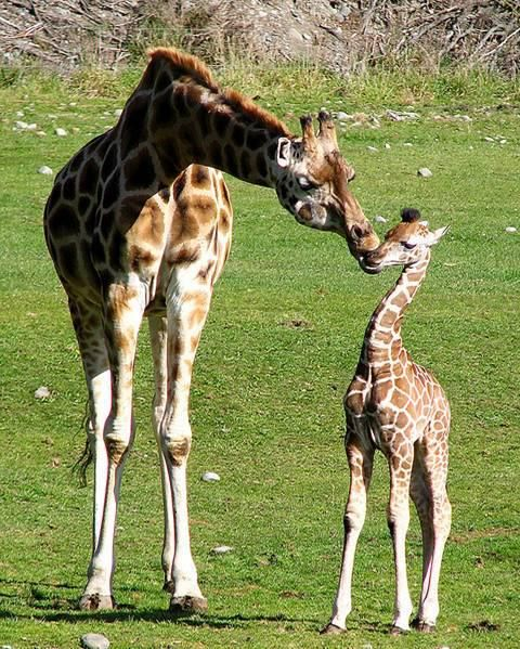 ☀The Rothschild Giraffe (Giraffa camelopardalis...