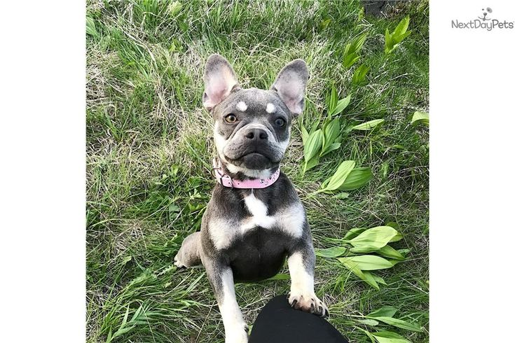 Lilac Blue Tan Due Dec 31 And Lilac Blue Merle Frenchieforsale Frenchie4sale Frenchbulldogforsa Blue Merle French Bulldog For Sale Merle French Bulldog