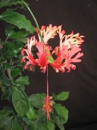 Hibiscus schizopetalus , Japanese Latern. - I found it! The Japanese Hibiscus! Isn't it delicate and beautiful? ;o)