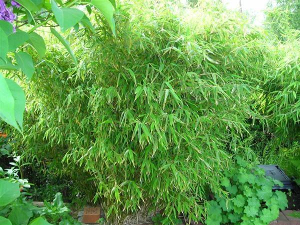 Bamboo (bambu)