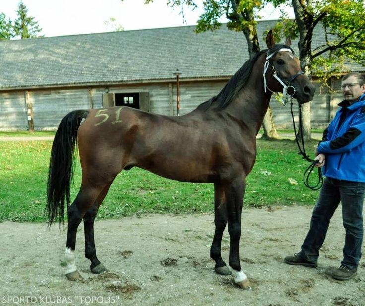 Pferde kaufen - Arabisches Halbblut Pferd Litauen Distanzreiten zum Verkauf Polis