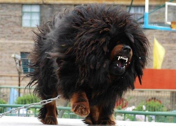 Chinese Dog That Looks Like A Lion