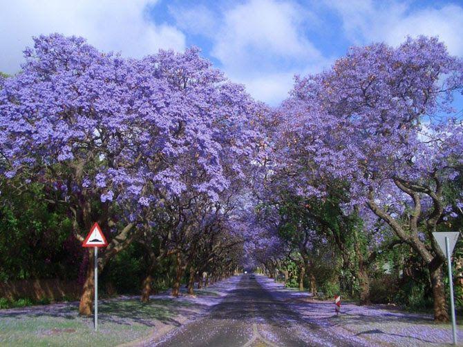 Пурпурный тоннель, Южная Африка  Если вы любите сиреневый цвет — этот тоннель для вас! В Йоханнесбурге находится созданный руками человека лес из более 10 миллионов деревьев. Тропические деревья, в том числе 49 видов джакаранд. В октябре, когда они цветут, земля покрывается синими и сиреневыми лепестками.