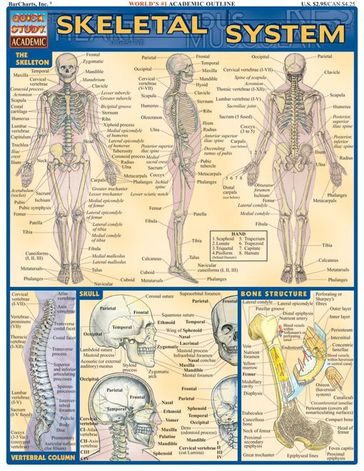 College Anatomy Worksheets For Students : Skeletal system teaching nursing students and physiology